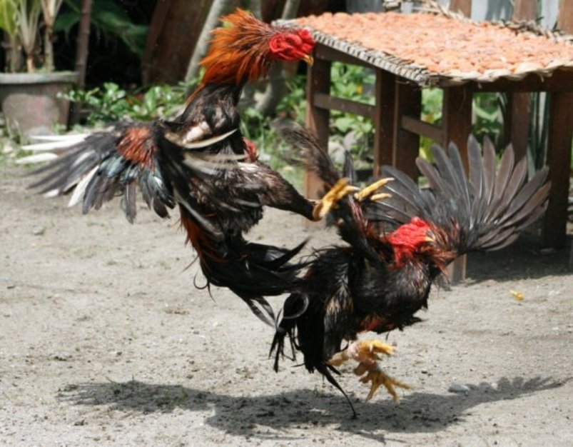 Daftar Sabung Ayam S128