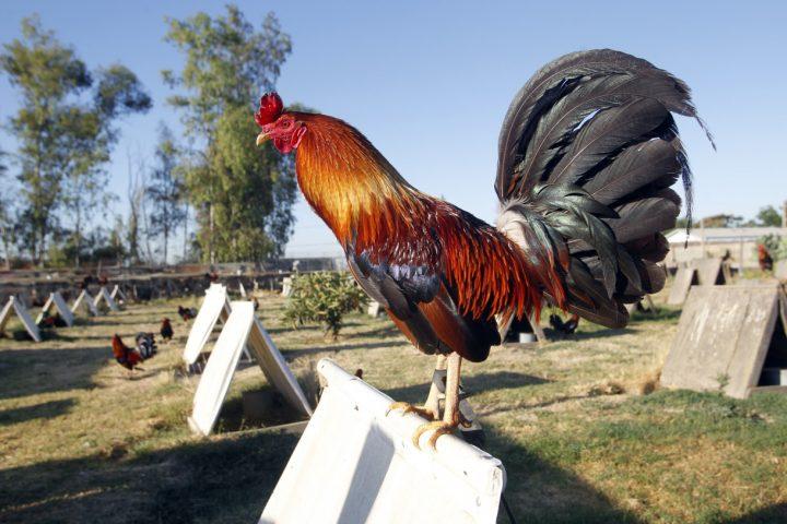 Chicken Fighting